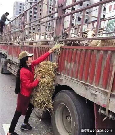 放生途中,工作人员给羊喂草。