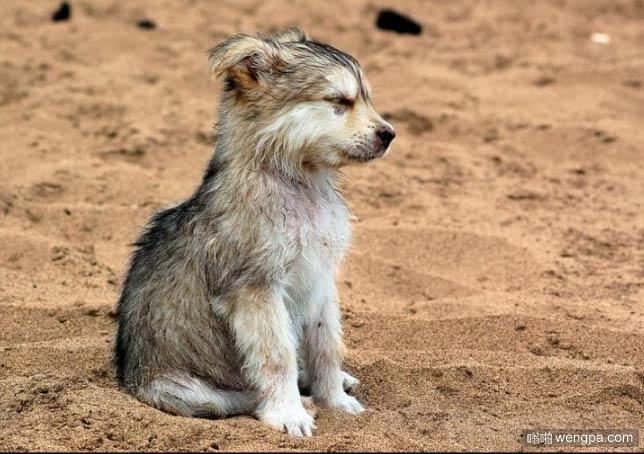 可爱的狼小狗 小狼萌宠图片 - 嗡啪网