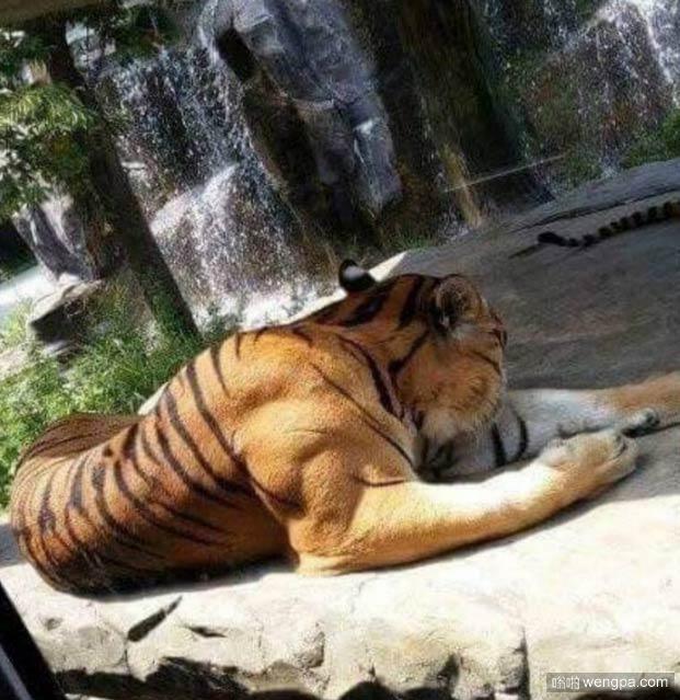 这老虎空闲时间一定喜欢健身