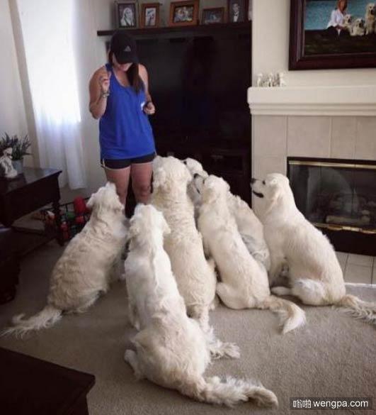 一大波白色金毛狗狗 主人能分清谁是谁么_萌宠图片 - 嗡啪网