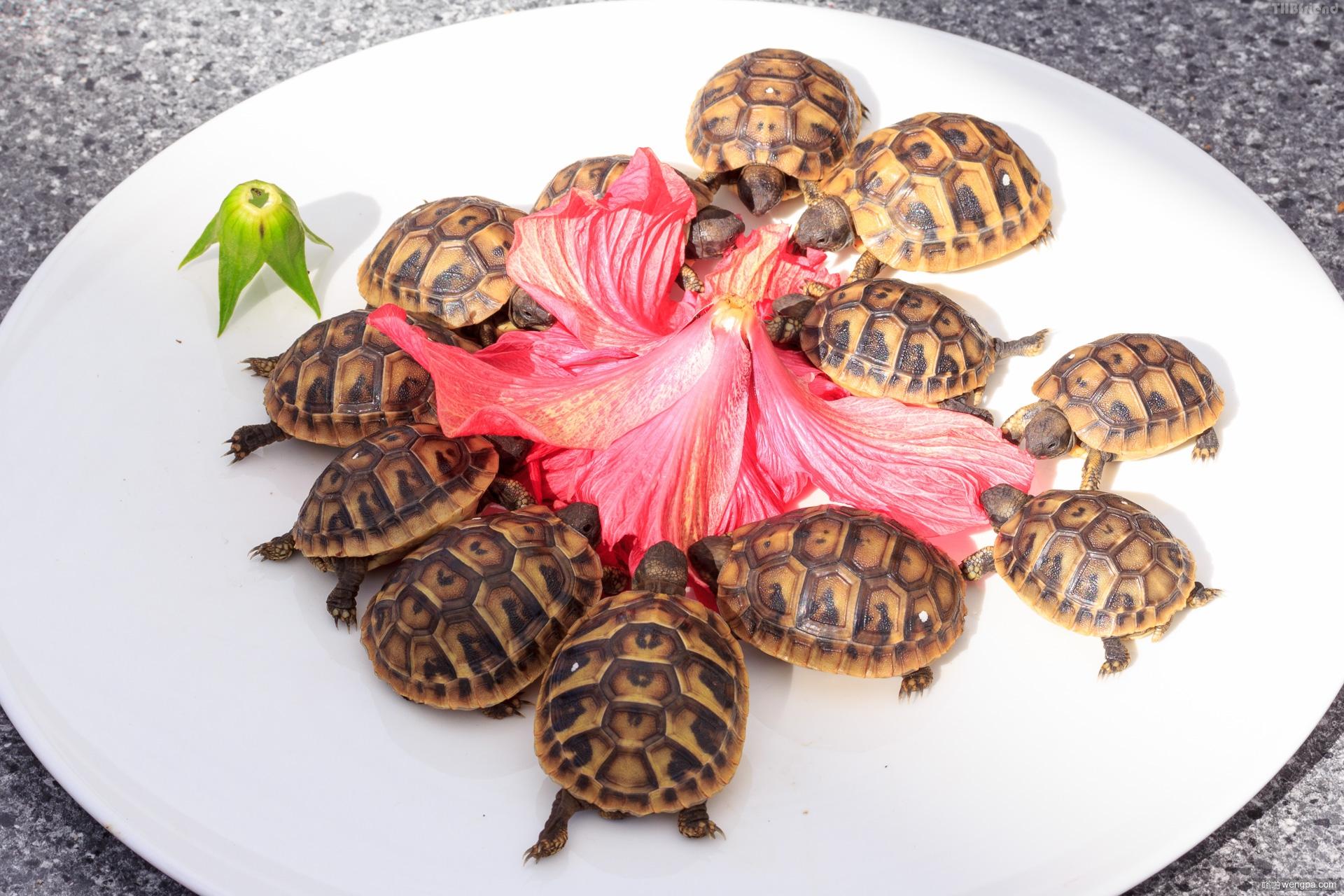 小乌龟喜欢芙蓉