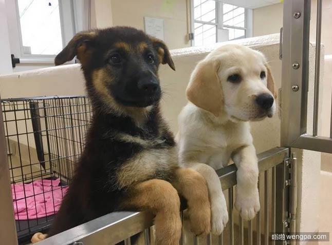 两个未来的导盲犬♥ 可爱导盲犬小狗萌宠图片 - 嗡啪网