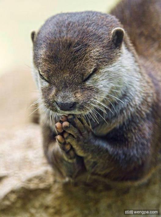 水獭祷告可爱萌宠图片 小动物祷告萌宠图片 -嗡啪网