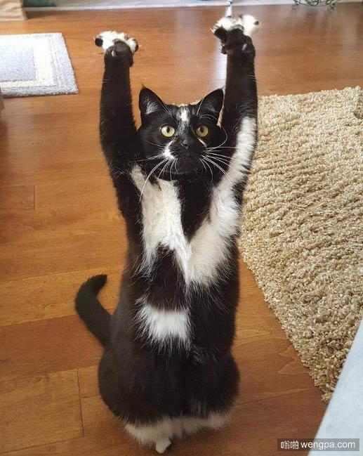 所长别开枪是我  可爱小猫习惯举起爪子朝拜