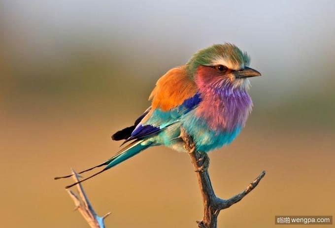 紫胸佛法僧鸟 大自然柔和的调色板 - 嗡啪网