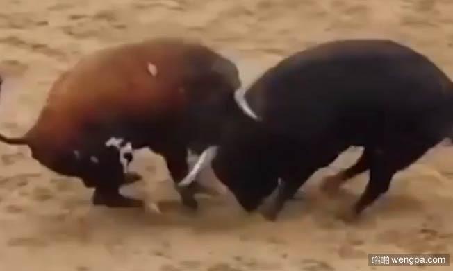 西班牙两斗牛头部高速对撞 同归于尽双双毙命