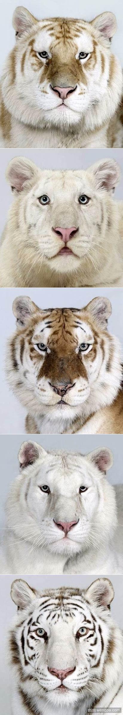 不同毛色的老虎