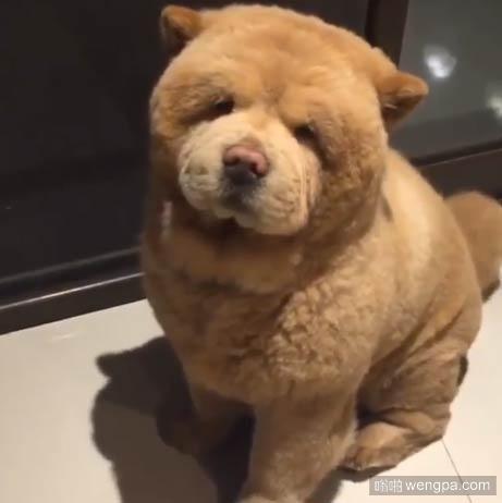 这是一只狗还是一只熊?