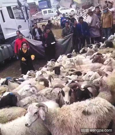 卓玛和准备放生的羊群。