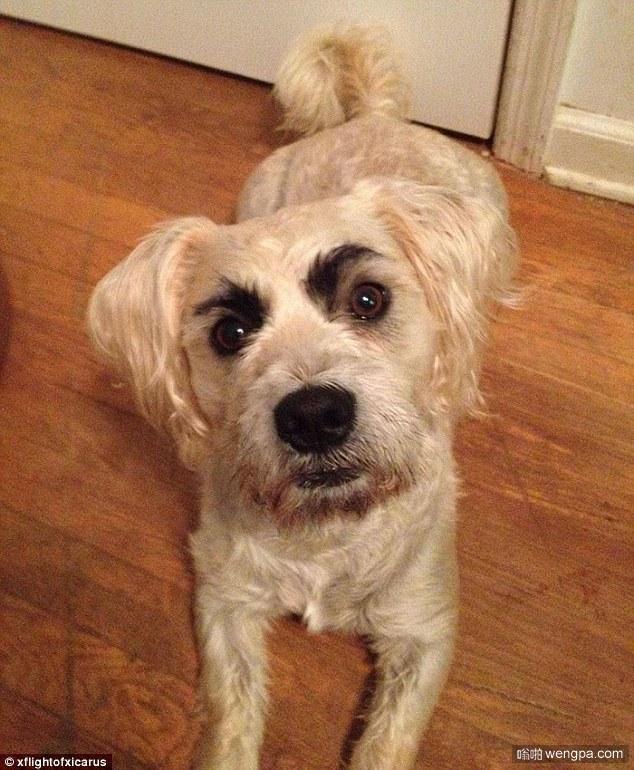 画了眉毛的汪星人 笑果很好啊 狗狗画眉毛搞笑图片 - 嗡啪网