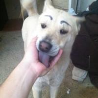 画了眉毛的汪星人 笑果很好啊