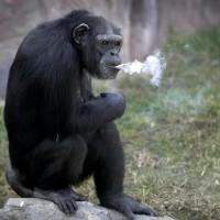这猩猩烟瘾有点大 朝鲜动物园19岁大猩猩抽烟每日1包