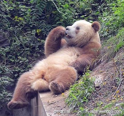 全球现存唯一棕色大熊猫 每天任务就是吃喝拉撒睡 - 嗡啪网