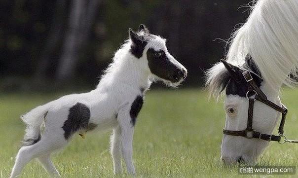 可爱的有黑色斑纹的小白马驹