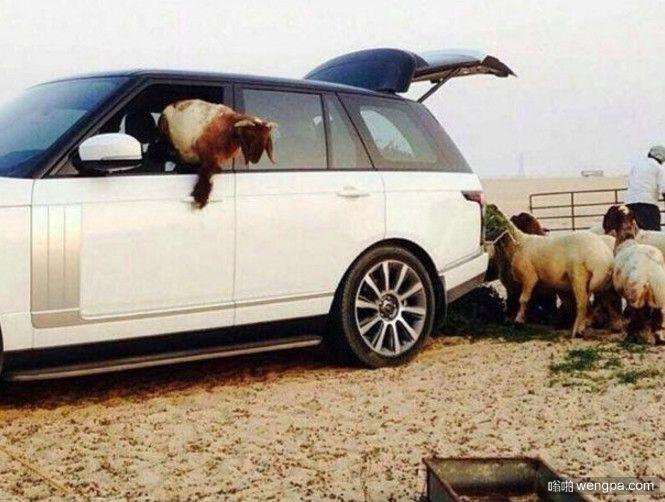在迪拜路虎揽胜竟然用来装草料喂羊