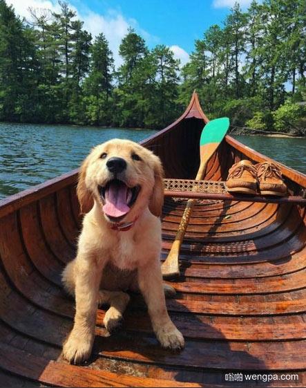 金毛狗狗在独木舟中 狗狗萌宠图片 - 嗡啪网