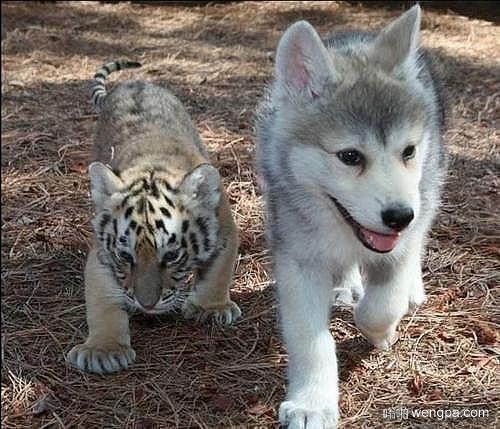 有所不同 但,是朋友 哈士奇小狗和小老虎萌宠图片 - 嗡啪网