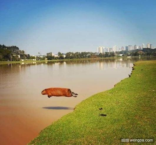 水豚飞跃入水瞬间