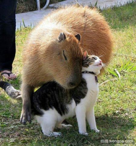 水豚和猫相亲相爱