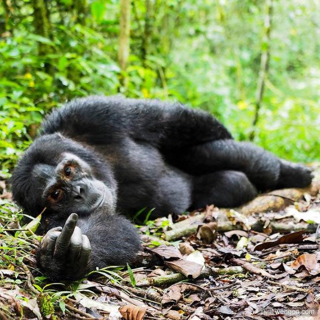 近墨者黑!不要对猩猩竖中指 它也会对你竖中指