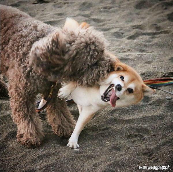 柴犬是来搞笑的 柴犬狗狗搞笑萌宠图片 - 嗡啪网