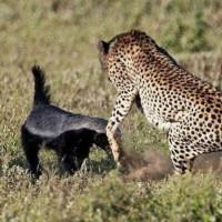 蜜獾 非洲平头哥 看淡生死 不服就干