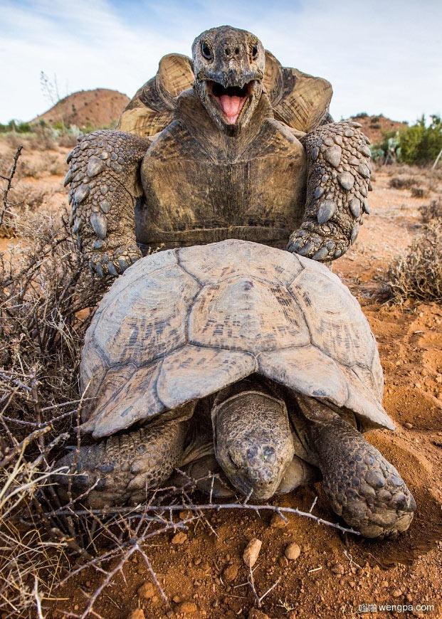 最快乐的乌龟 摄影师拍到乌龟交配 表情幸福