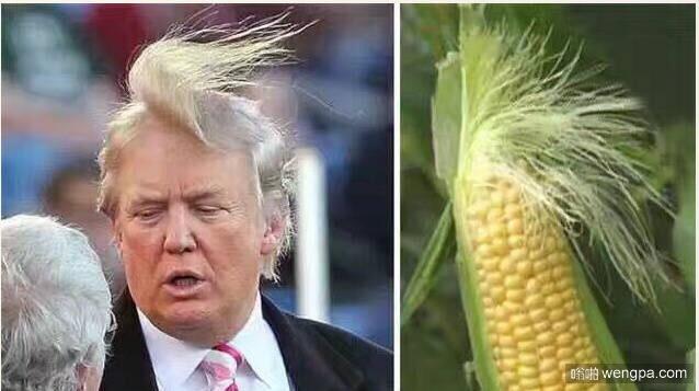 川普 特朗普搞笑图片 特朗普发型像玉米 - 嗡啪网