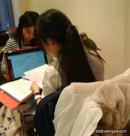 这只鹦鹉在女学生身上至少呆了两个小时 - 嗡啪网