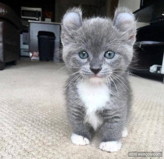 这是什么品种小猫 可爱小猫萌宠图片