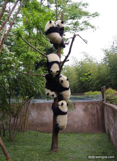 一棵树上结满了熊猫宝宝 萌宠图片 - 嗡啪网