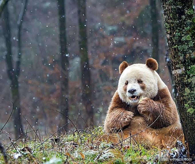 七仔 世界上唯一的棕色大熊猫