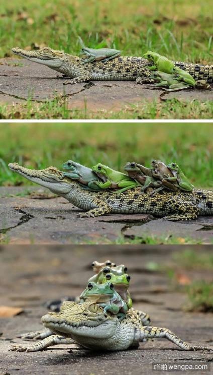 2元一位,上车走了!四只青蛙井然有序爬上小鳄鱼搭便车