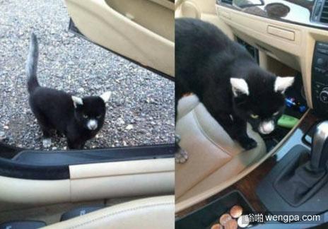 这猫是什么品种?可爱萌宠小猫