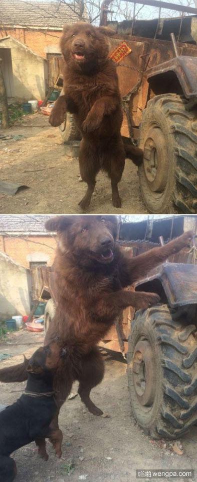 农村二叔家养的土狗,都说是狗熊,有人出价两万都没卖 - 嗡啪网