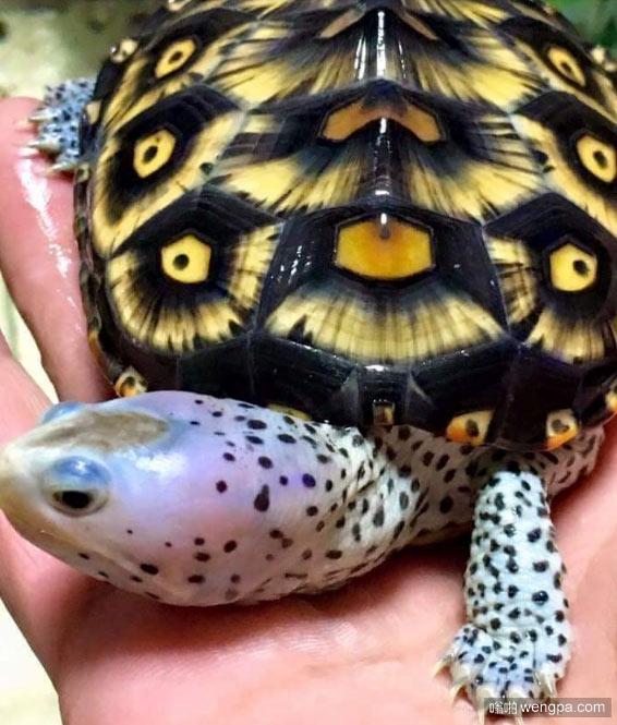 钻纹龟 看着像身上长满了眼睛