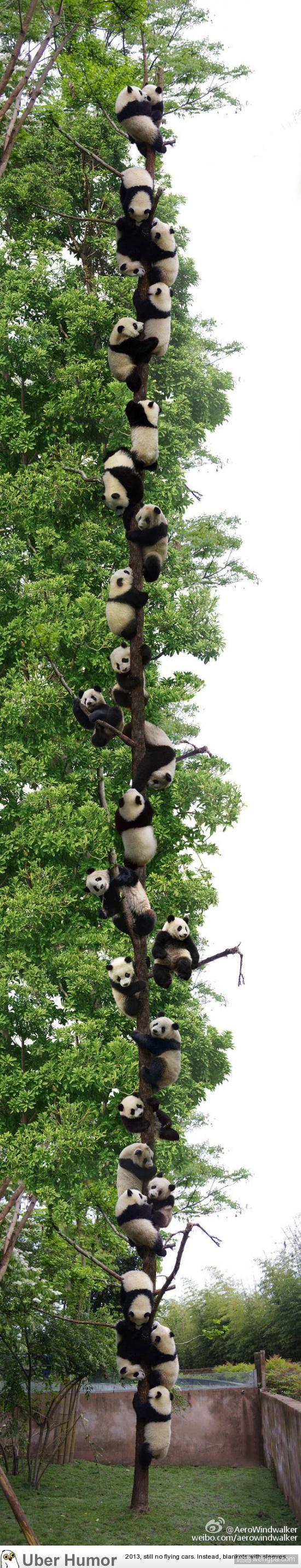 树上结满了熊猫