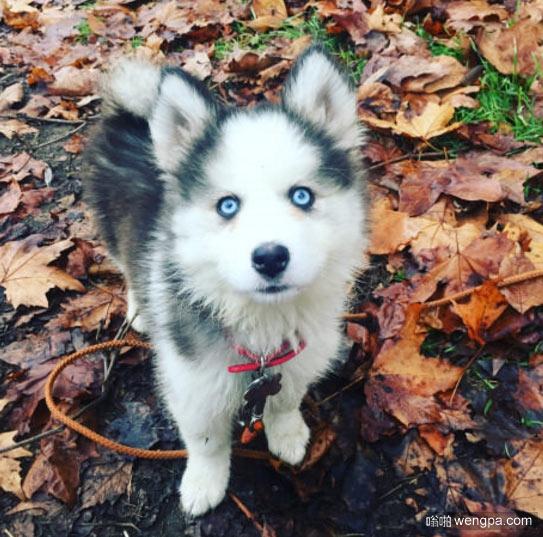 可爱哈士奇有一双蓝色的眼睛 哈士奇小狗萌宠图片 - 嗡啪网