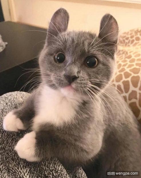 这猫是什么品种 小猫萌宠图片 - 嗡啪网