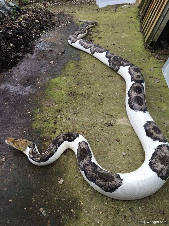 奶牛巨蟒 见过这么可爱的蟒蛇么