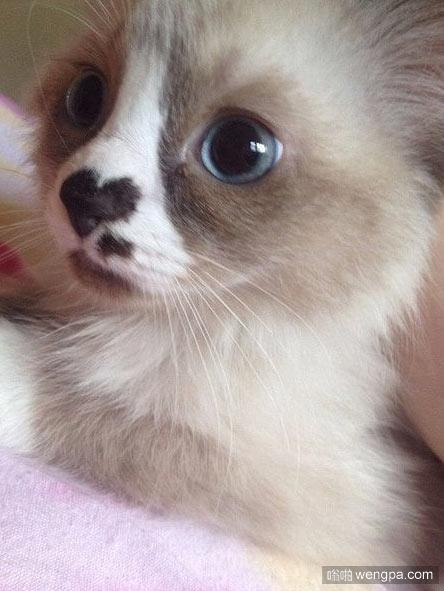 我做错了吗 可爱小猫无辜的眼神 小猫萌宠图片 - 嗡啪网
