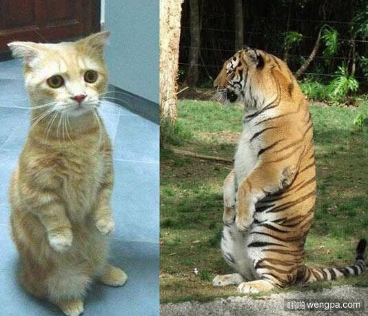 大猫小猫都是猫 老虎和猫的共同点 - 嗡啪网