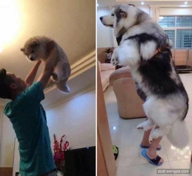 狗狗刚来时样子和现在的样子 快抱不动了
