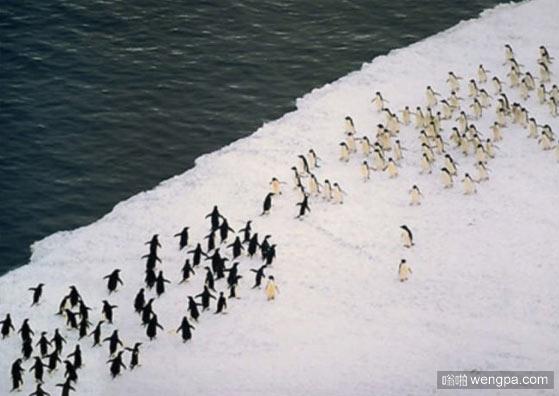 企鹅间的帮派斗殴 搞笑图片 - 嗡啪网