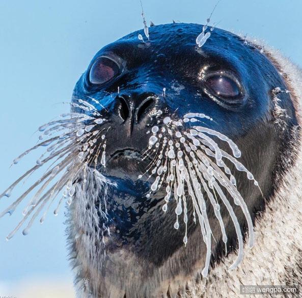 南北极有多冷 看看它们就知道了 海豹胡子结冰 - 嗡啪网