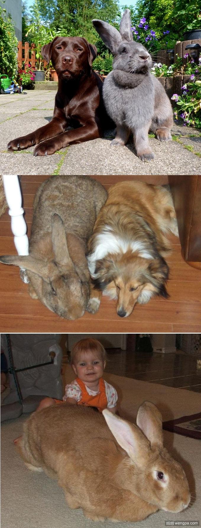 超级巨型兔子 体型与大型犬只差不多了 - 嗡啪网