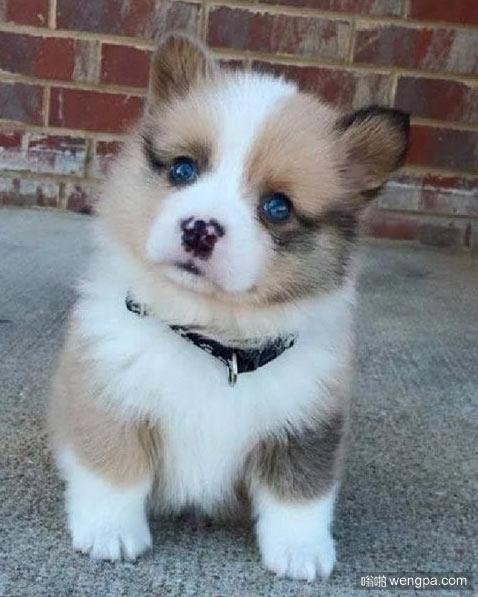 可爱的小狗狗 像是哈士奇和柯基的串串 狗狗萌宠图片 - 嗡啪网