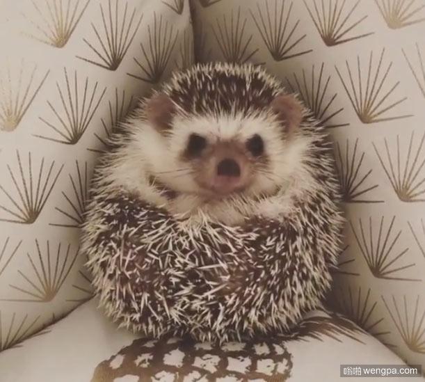 可爱的小刺猬缩在沙发角落 小刺猬萌宠图片 - 嗡啪网