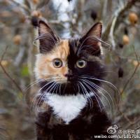 一只叫Elizabeth的可爱猫咪 有两副面孔呢~~~萌翻了!(2)