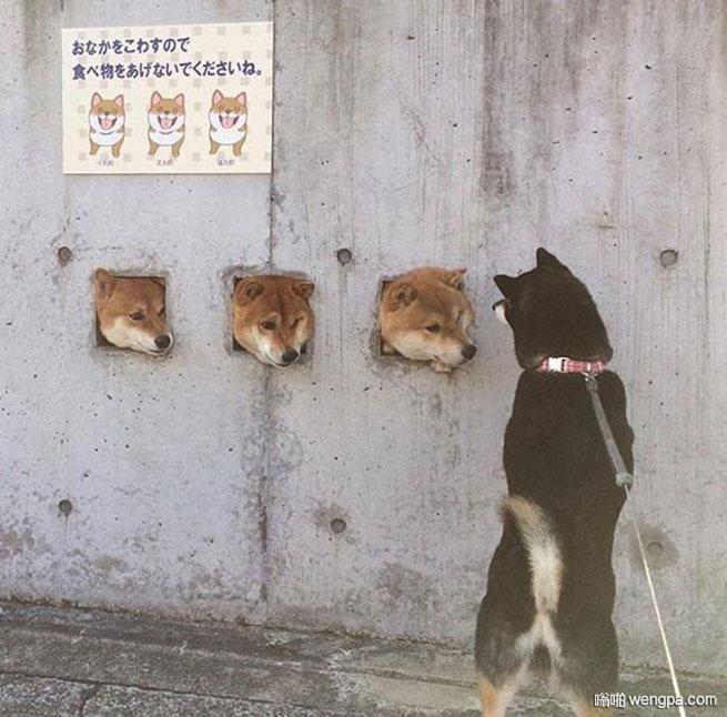 外面的世界 秋田犬搞笑图片 - 嗡啪网
